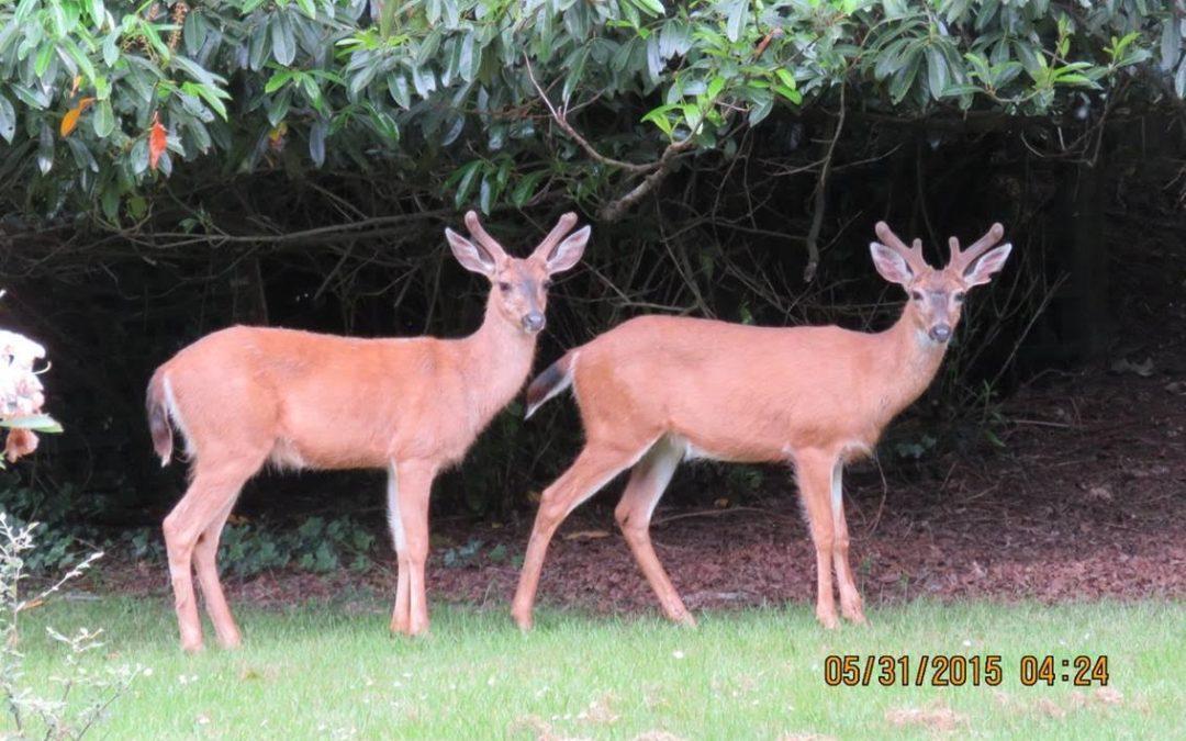 Wildlife Group Seeks Photos of Oak Bay Deer