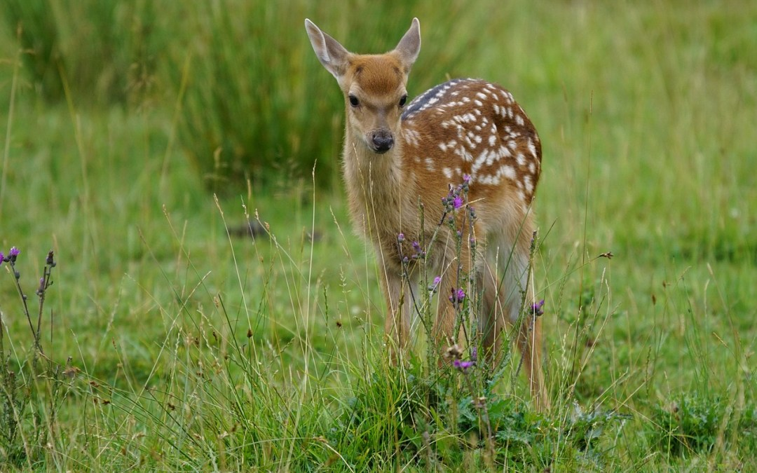 Times Colonist Editorial Calls on Science and Research for Deer Management!