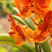 Orchid Masquerade 2017 | The Barbados Orchid Society