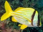porkfish1