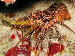 spottedlobster6