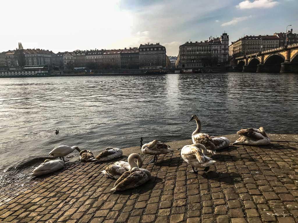 Лебеди клубочком у моста Палацкого