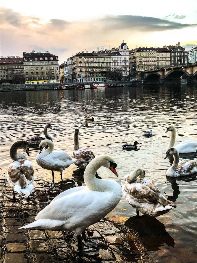 Лебеди во Влтаве у моста Палацкого