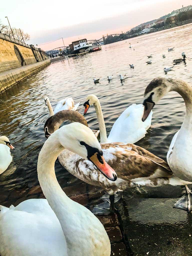 Лебеди во Влтаве на Рашиново набережной