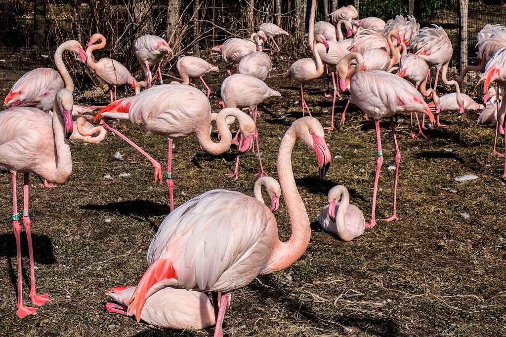 Пражский зоопарк. Розовый фламинго
