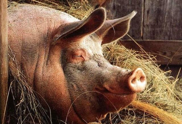 Вот почему мусульмане и евреи не едят свинину! Я всегда думала по-другому.