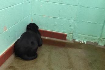 Брошенный хозяевами лабрадор, в ужасе прятался в углу, в луже собственной мочи. Но это фото спасло жизнь пса