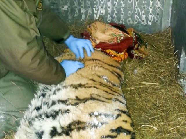Они обнаружили на веранде… неподвижную тигрицу! Но она пришла не ссориться, а кое-о чём попросить…