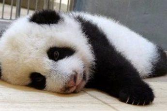 Панда укладывает детёныша спать. Видео, которое нельзя смотреть без улыбки на лице!