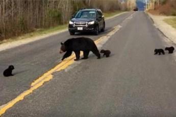 Полицейский помогал медведице и её деткам перейти дорогу. Но внезапно спас медвежонку жизнь!