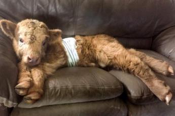 Телёнка вырастили в семье с собаками, и теперь он решил, что он пёс!Телёнка вырастили в семье с собаками, и теперь он решил, что он пёс!