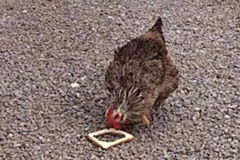 Эта курица довела до истерики операторов! Посмотрите, что она вытворяет с хлебом