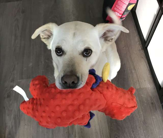 Дружелюбная собака приносит игрушку каждому гостю, который приходит в ее дом
