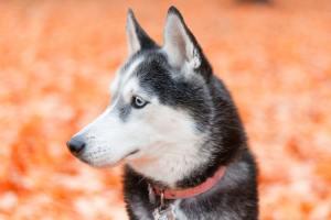 20 фактов о собаках породы хаски