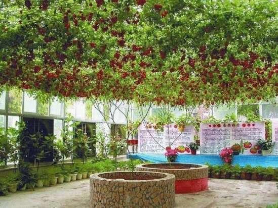 Удивительное томатное дерево, вырощенное в Израиле