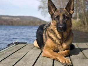 На какую породу собаки похож каждый знак Зодиака