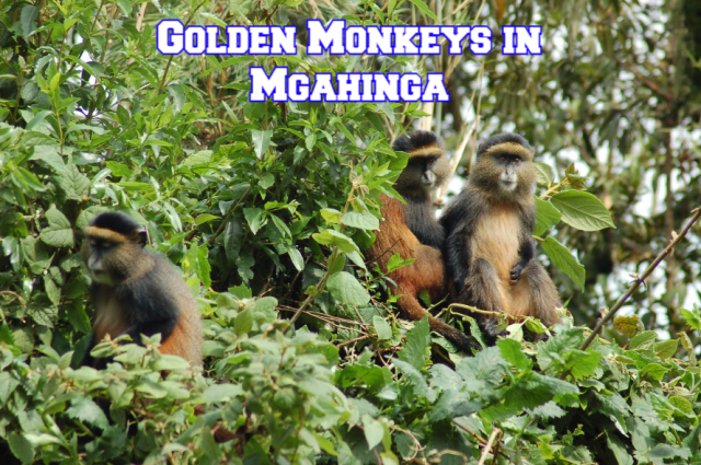 Golden Monkeys in Mgahinga