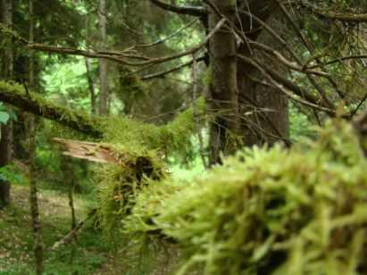 rastitelnost Borzhomskih lesov