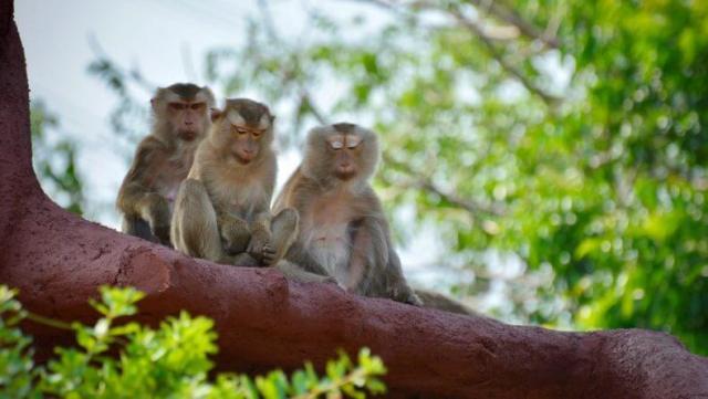 Макаки в Тайланде