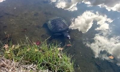 Lake Alice turtle