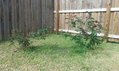 Rose bushes post-Snowpocalypse 2018