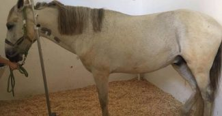 Cavalo com cólica