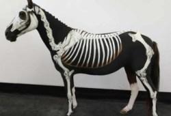 Roupas de cavalo ajudam a ensinar anatomia equina