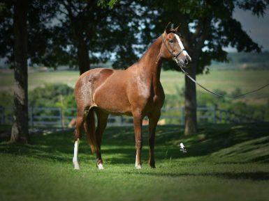 4º Leilão Haras Tarlim Cavalo Mangalarga