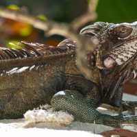 Sanibel: Invasive Nile Monitor Lizards & Green Iguanas