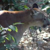 Mystery Of The Sanibel Panther or Captiva Panther?