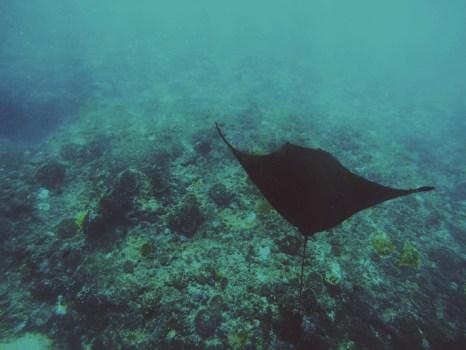 Swimming with Mantas!