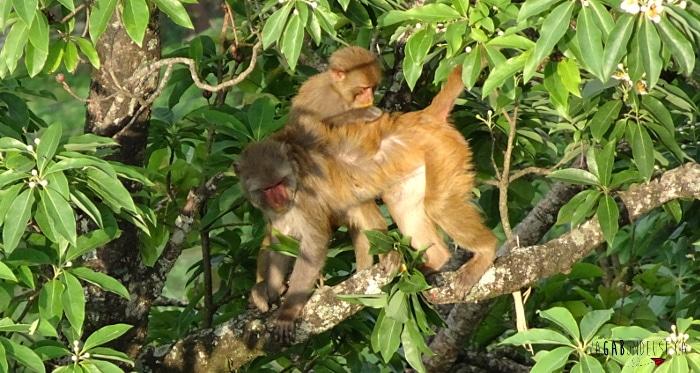 retraite de yoga et méditation à Pokhara au Népal singes