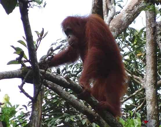Quoi faire sur Bornéo en Malaisie visiter la réserve d'Orangs-Outangs de Semenggoh
