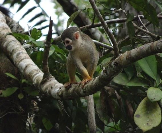 Amazonie en équateur singe