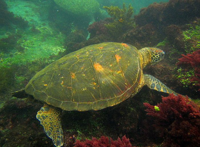 voyage aux galapagos tortue marine