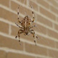 Araneus diadematus - The Cross Spider