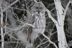 1024 - ve - grey owl - tree DSC_1908