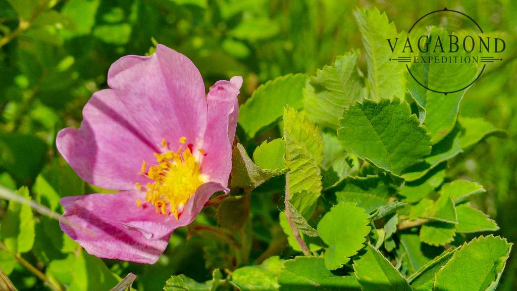 Alberta's Wild Rose