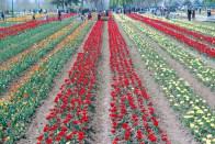 Tulip15