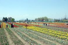 Tulip garden has thorough stream of visitors- both locals and tourists