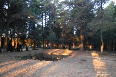 Morning light filtering through mighty Deodars