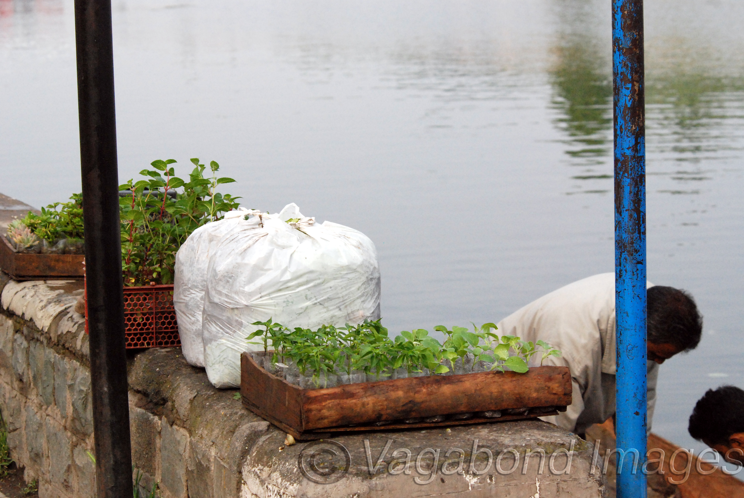 There are many nurseries and floating gardens in the Dal. Here you see saplings being taken to some other place and to houseboats for their private gardens