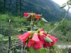 बुरांश सिक्किम का राज्य फूल है और शिंगबा पार्क में कई रंगों के बुरांश देखने को मिल जाएंगे।