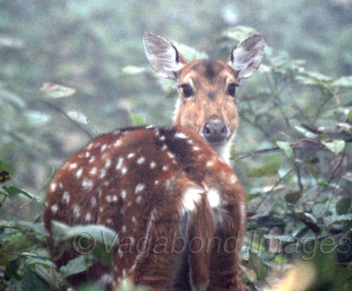Always alert spotted deer looking to strangers in his territory