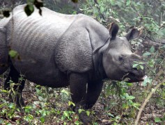 A closer view of a rhinoceres at Dudhwa reserve