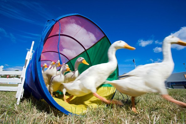 Ducks at Royal Welsh Show © Crown copyright (2013) Visit Wales