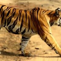 बांधवगढ़: भारत की बाघ भूमि