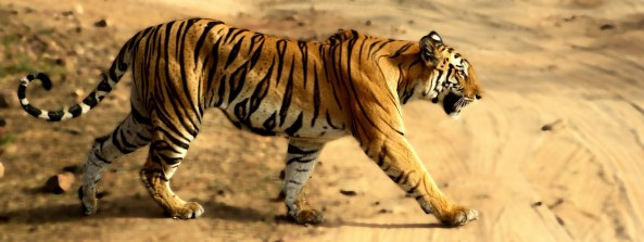 बांधवगढ़ में मादा बाघ। फोटोः  अर्चित/विकीपीडिया