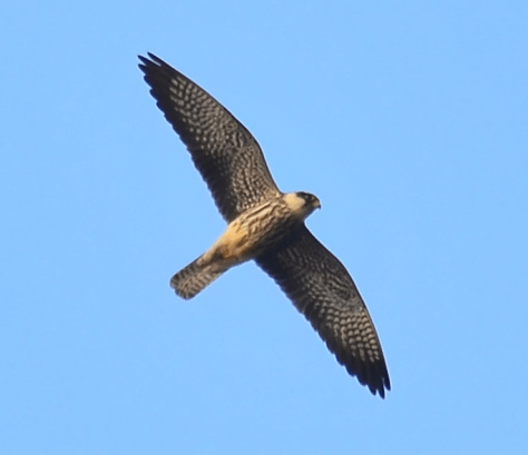 A female Amur Falcon in the flight