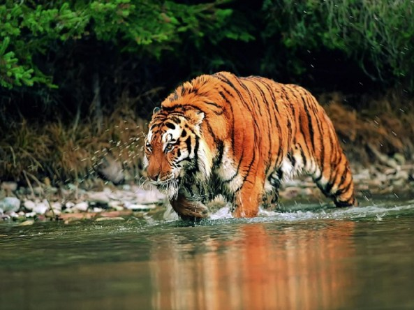 Siberian Tiger on prowl